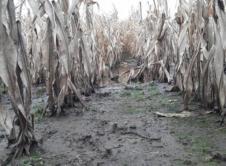 Tegoroczne zbiory kukurydzy oraz buraka cukrowego to katastrofa dla rolników. Woda po kostki i grząskie błoto to warunki uprawy ryżu, a nie kukurydzy! Czy zbiory kukurydzy i buraków cukrowych zakończą się sukcesem? Jak na razie nic na to nie wskazuje. Przez stojącą na polach wodę, rolnicy nie mogą wjechać ciężkim sprzętem. Czas zbiorów nastał, kukurydza […]