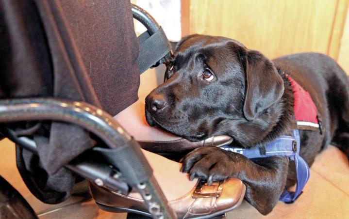 Pies dla jednych jest towarzyszem codziennego życia, który czeka w domu, domagając się zabawy, dla drugich jest nieodłącznym elementem codziennego funkcjonowania i wykonywania podstawowych czynności.Jest brakującym zmysłem i sprawnością. Takim psom nie można przeszkadzać w pracy. Między innymi potrafi pomóc w zakładaniu ubrań, przechodzeniu przez ulicę, wykrywaniu zmian w stanie zdrowia oraz otwieraniu drzwi i […]
